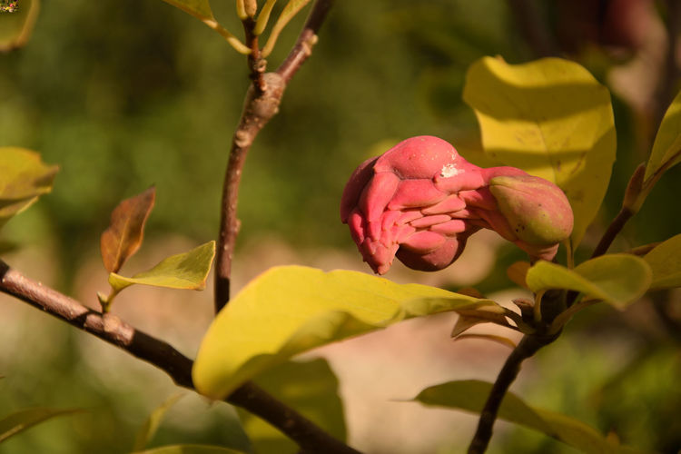 The fruit of magnolia, Magnoliaceae Mysterious Magnolia Magnolia Seed Pod Magnolia Fruit Beauty In Nature Close-up Focus On Foreground Fragility Freshness Growth Leaf Magnoliaceae Nature No People Outdoors Pink Color Plant Plant Part Selective Focus