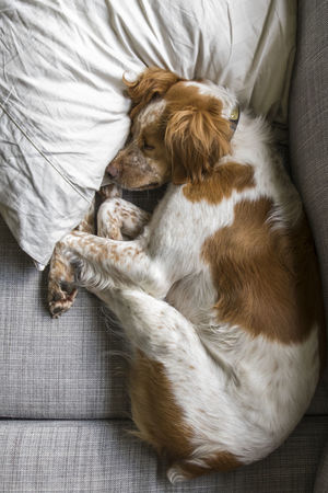 Canine Dog French Brittany Mammal One Animal Pets Puppy Puppy Love Puppy❤