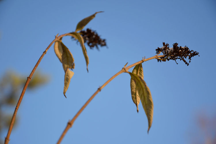Close-Up Of Wilted Plant Against Clear Blue Sky