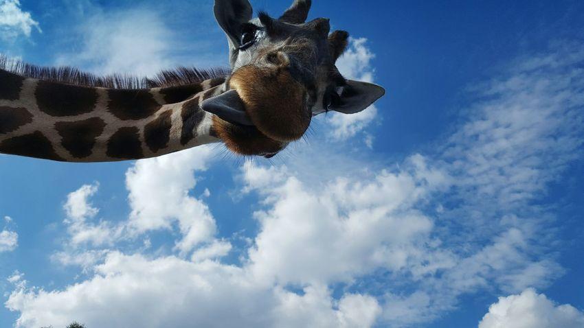 Giraffe Tongue Close-up Serengeti Serengeti-Park, Hodenhagen Animal Nature Zoology Wildlife Wildlife & Nature Tongue Out Clouds And Sky Clouds Blue Sky FUNNY ANIMALS Funny Faces Funny