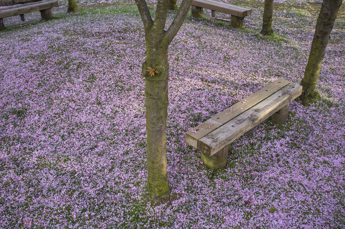 Beauty In Nature Bench Blooming Cherry Blossoms Color Image Day Field Flower Fragility Freshness Grass Growth High Angle View Horizontal Nature No People Outdoors Park - Man Made Space Photography Pink Color Plant Sakura Petals Tranquility Tree Urban Spring Fever
