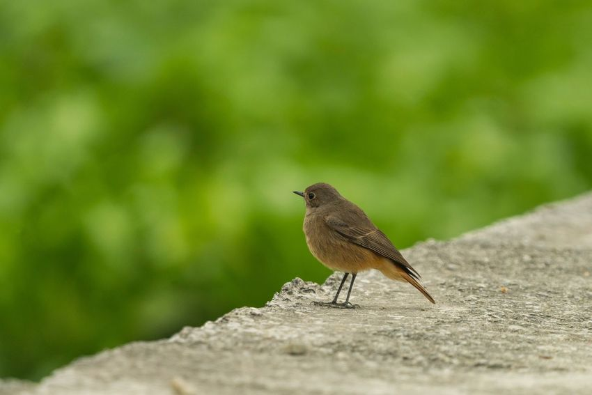 Sigma 150-600c Sony A7RII Long Yuen Hong Kong Black Redstart One Animal Bird Animal Themes Animals In The Wild Perching Animal Wildlife Day Outdoors Robin Nature No People Sparrow Close-up