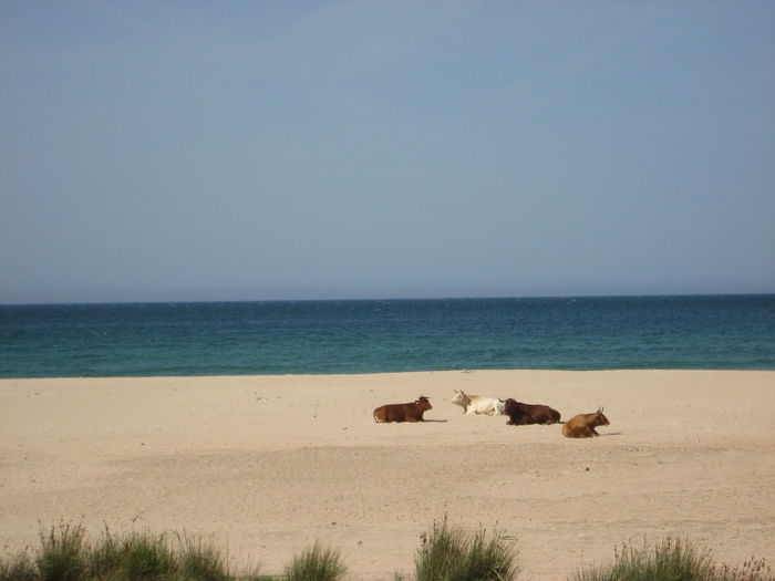Cows Sitting On Sand At Beach Against Clear Sky