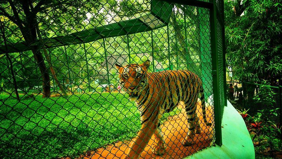 Tiger-love Zoo Tiger Bangalore India Indian-tiger