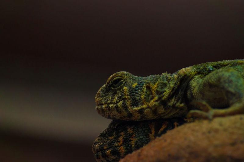 Close-up of chameleons on rock