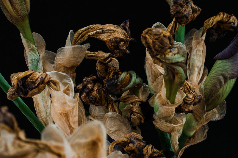 Close-up of dried plant against black background