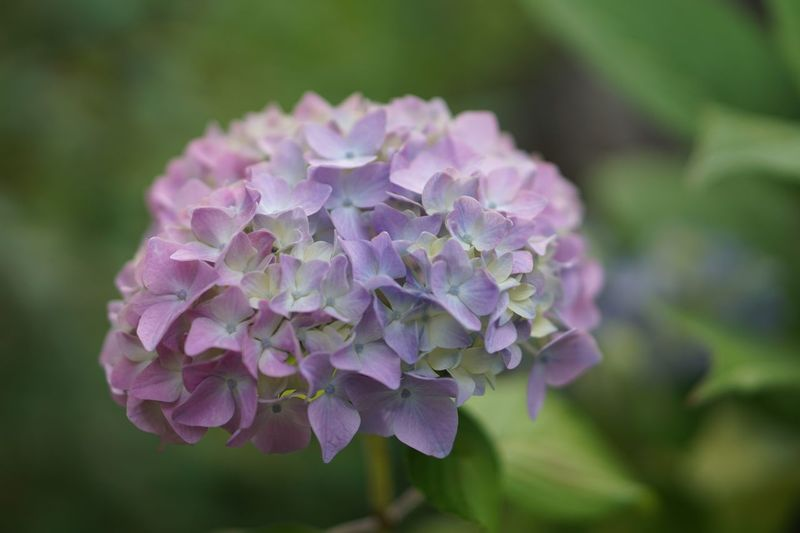 Flower Leaves Green Color Botany Hydrangea Plant Freshness Close-up Growth Petal Nature