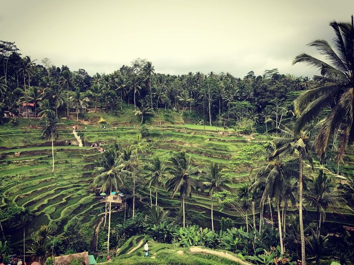 Been There. Bali Nature Day No People Tree Nature Palm Tree Growth Tranquility Beauty In Nature Tropical Climate Banana Tree Landscape Outdoors Scenics Tranquil Scene Lush Foliage Agriculture Rice Paddy Green Color Terraced Field Sky Forest
