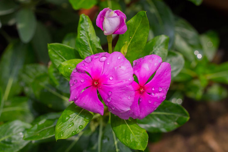 Close-up of wet pink flower in rain