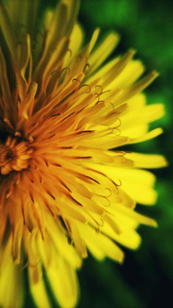 Flower Head Flower Defocused Yellow Full Frame Springtime Backgrounds Petal Stamen Black Background