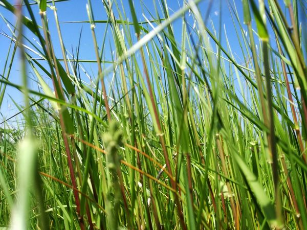 Grass And Sky Sky And Land Sky And Nature Tall Grass Nature Outdoors Background Grassland Grasslands Grassland Under Sunlight Cereal Plant Agriculture Backgrounds Field Full Frame Bamboo Grove Bamboo - Plant Ear Of Wheat Rural Scene Close-up Blade Of Grass Tall Grass Dew Growing Cultivated Land Agricultural Field Crop  Plantation Young Plant Lush - Description Stalk Farmland Plant Life