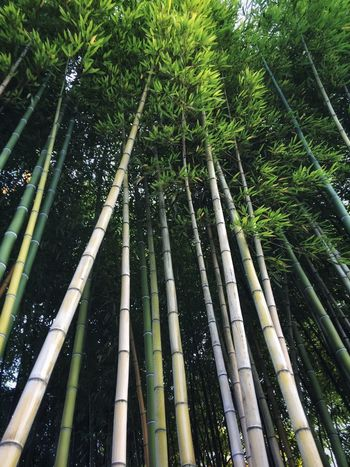 Bamboo Scenery Patterns In Nature Plant Tree Bamboo Bamboo - Plant Bamboo Grove Growth Forest Green Color Nature Beauty In Nature Tall - High Outdoors Scenics - Nature Low Angle View Tranquil Scene Tranquility