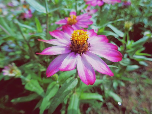 Flower Pink Color Petal Plant Outdoor Pursuit Nature Fragility Beauty In Nature No People Outdoors Flower Head Day Close-up Freshness Multi Colored Eastern Purple Coneflower Zinnia