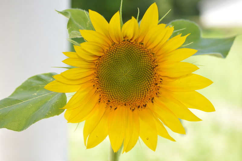 Close-Up Of Yellow Sunflower
