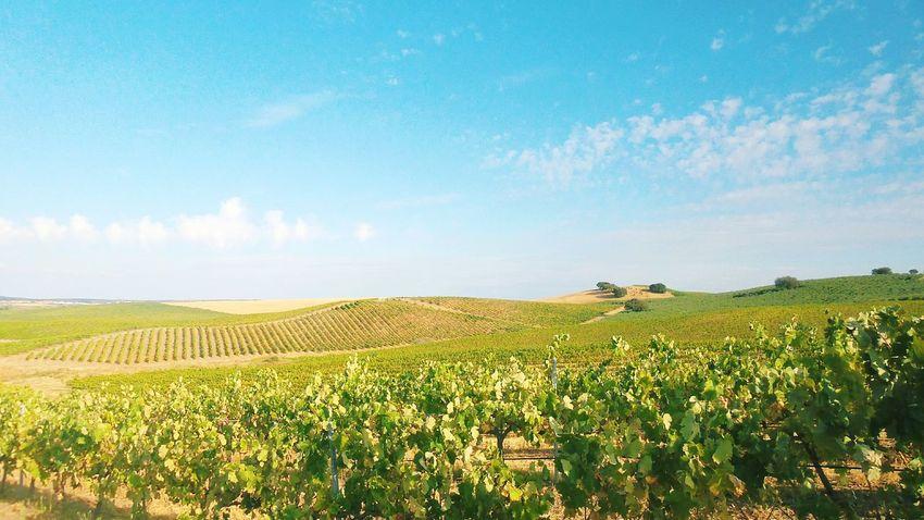 Vineyards, alentejo, Portugal. Vineyard Portugal South Alentejo Rows Field agriculture Plain
