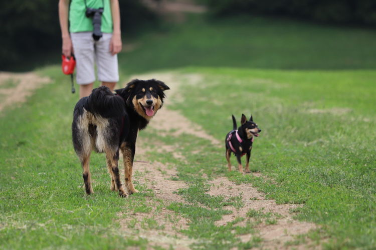 Dogs with owner on a walk