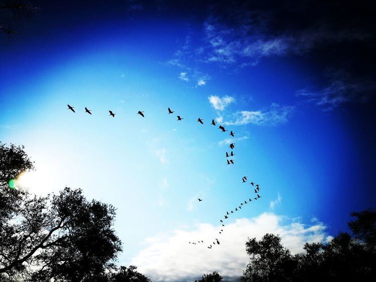 Animal Themes Animals In The Wild Ave Aves Beauty In Nature Bird Cloud - Sky Coahuila Coahuila, México Day Flock Of Birds Flying Grus Grus Canadensis Large Group Of Animals Low Angle View Mexico Migrating Nature No People Outdoors Silhouette Sky Togetherness Tree
