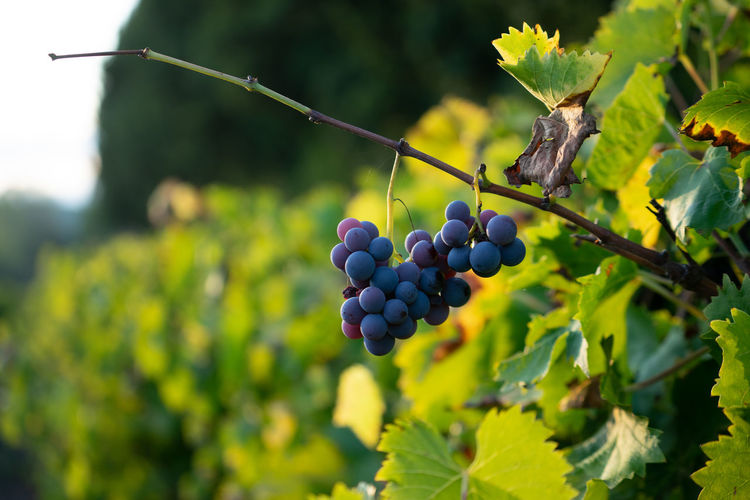 Grapes for