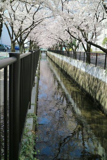 Cherry Blossoms Water Reflections Eyem Flower_collection Tree_collection  Check This Out