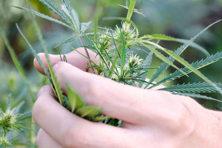Close-Up Of Human Hand Holding Cannabis Plant