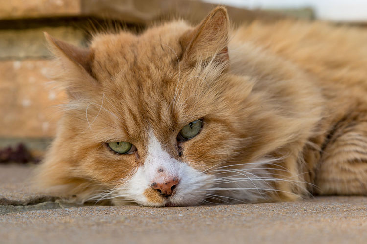 A close up of a ginger cat lying on the floor Cat Animal Themes Animal Feline Mammal Domestic Cat Pets Domestic One Animal Domestic Animals Relaxation Vertebrate Portrait Whisker No People Looking At Camera Close-up Focus On Foreground Lying Down Resting Animal Head  Ginger Cat Animal Eye