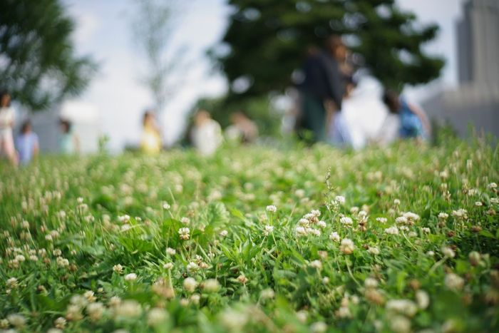 Clover Field Clover Bokeh Photography Bokeh Nature In The City Nature Photography The Purist (no Edit, No Filter) EyeEm Best Shots - Nature EyeEm Best Shots Taking Photos Snapshot Walking Around お写ん歩 Plant Selective Focus Growth Grass Field Land Green Color Beauty In Nature Nature