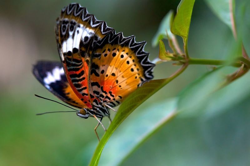 Red Lacewing, Cethosia biblis. Animals In The Wild Animal Themes Insect Butterfly - Insect Cethosia Biblis Butterfly Butterfly Collection Butterflies One Animal Close-up Macro_collection Macro Photography Macro Animal Wildlife Nature Leaf Spread Wings Fragility