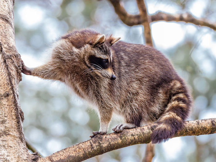 Low Angle View Of Raccoon On Tree Branch