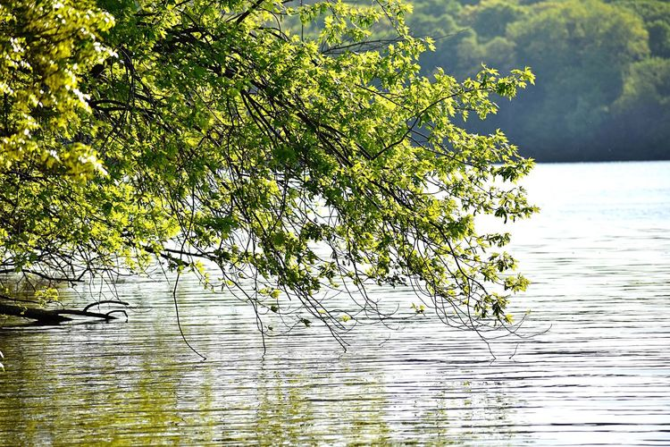 Tree over lake water Water Waterfront Beauty In Nature Lake Tranquility Nature Plant No People Scenics - Nature Tranquil Scene Tree Reflection Outdoors Rippled Floating On Water Green Color Sky Day