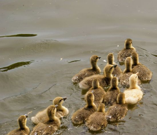 Animal Animal Family Animal Themes Animal Wildlife Animals In The Wild Bird Cygnet Duck Duckling Gosling Group Of Animals High Angle View Lake Nature No People Swimming Togetherness Vertebrate Water Young Animal Young Bird