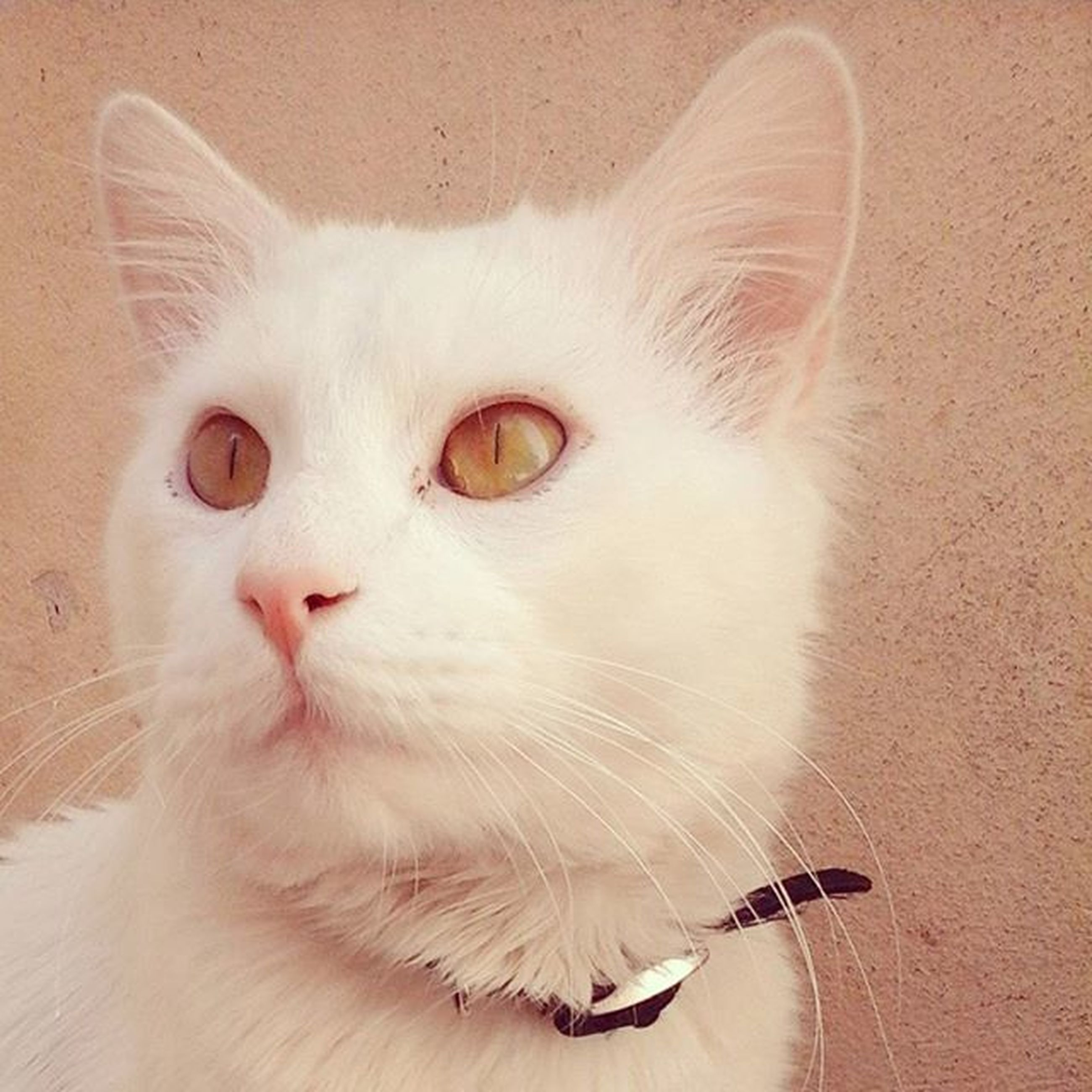 domestic cat, cat, domestic animals, pets, feline, mammal, animal themes, one animal, whisker, looking at camera, indoors, portrait, white color, close-up, alertness, relaxation, staring, no people, front view