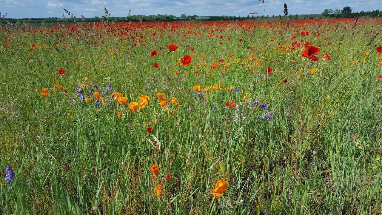 SCENIC VIEW OF FLOWERING FIELD