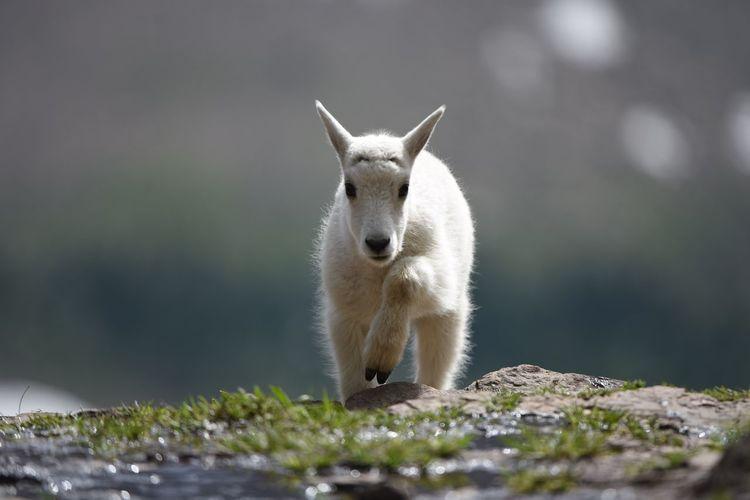 Portrait of kid goat walking on rocks