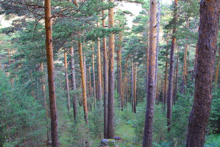 Sierra De Guadarrama Pino Bosque