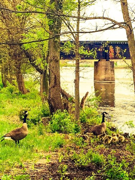 Nature_collection River Daytime Trees Geese Nature Diversities Gooses Family Goose The Great Outdoors - 2016 EyeEm Awards Geese Family The Essence Of Summer The Fox River At Montgomery, Illinois Fox River
