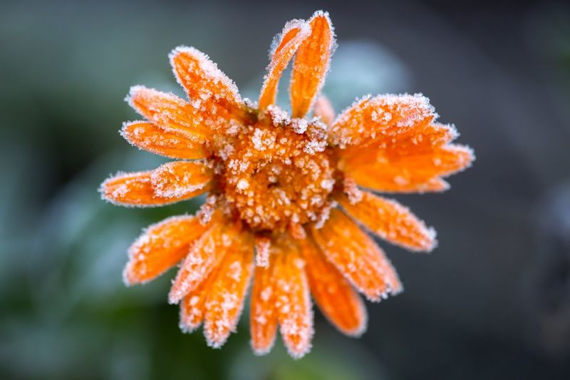 Frozen marig old Marigold Bird Photography EyeEmBestPics Eyemphotography Eyem Best Shots Nature_collection Frozen Close-up Plant Flowering Plant Beauty In Nature Orange Color Vulnerability  Fragility Flower Freshness Flower Head Cold Temperature Winter