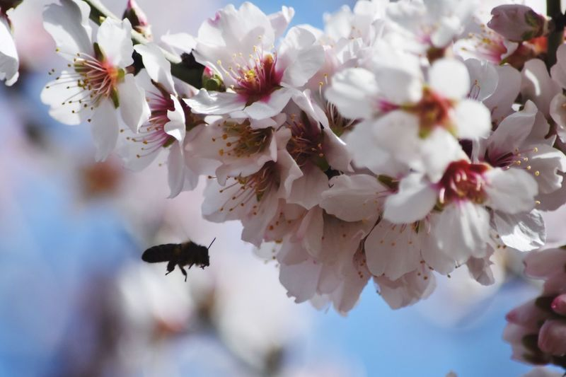 Awakening with the blossom Bee And Flower Almond Tree Blossoming  Blossom Bee Life Plant Flower Flowering Plant Beauty In Nature Growth Fragility Vulnerability  Animal Wildlife