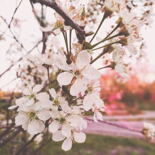 Close-up Russian Nature Siberian Nature Pink Pink Color Pink Filter White White Flower White Color Nature Beauty In Nature Spring EyeEmSelect Flower Head Flower Tree Flower Branch Springtime Pink Color Blossom Pastel Colored Natural Parkland Cherry In Bloom Blooming