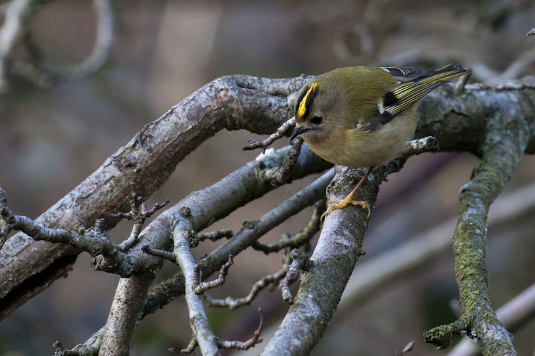 Close-up of goldcrest perching on dry plant