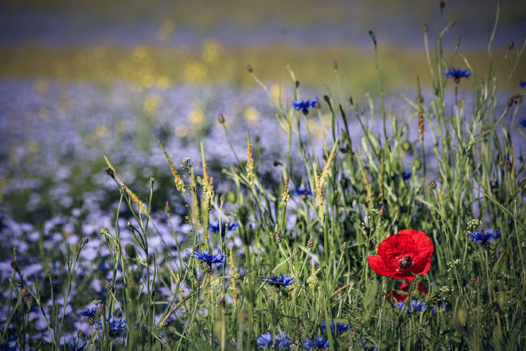 Beauty In Nature Close-up Cornflower Day Field Flower Flower Head Flowering Plant Focus On Foreground Fragility Freshness Growth Inflorescence Land Nature No People Outdoors Petal Plant Poppy Purple Red Vulnerability