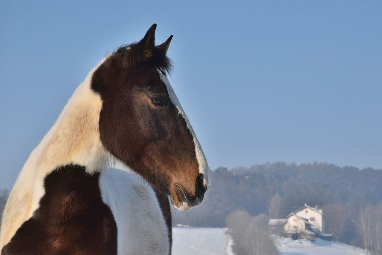 One Animal Animal Themes Sky Clear Sky Outdoors Day Domestic Animals Mammal No People Nature Close-up EyeEmNewHere Horselove Free Horse Snow Landscape Horse Photography  Outdoor Activity Animals In The Wild Cold Temperature Riding Nature Horseriding