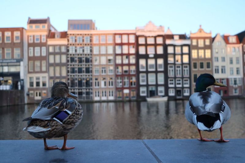 Amsterdam Duck Building Exterior Architecture Built Structure Outdoors Togetherness Friendship Ducks At The Lake Canals Ducks Together Two Ducks Amsterdamcity Amsterdam Canal Amsterdamse Grachten Amsterdam Architecture