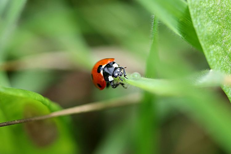 Animal Themes Insect Animal Wildlife Animal One Animal Animals In The Wild Beauty In Nature Beetle Ladybug Plant Close-up Nature Focus On Foreground Leaf No People Plant Part Day Green Color Selective Focus
