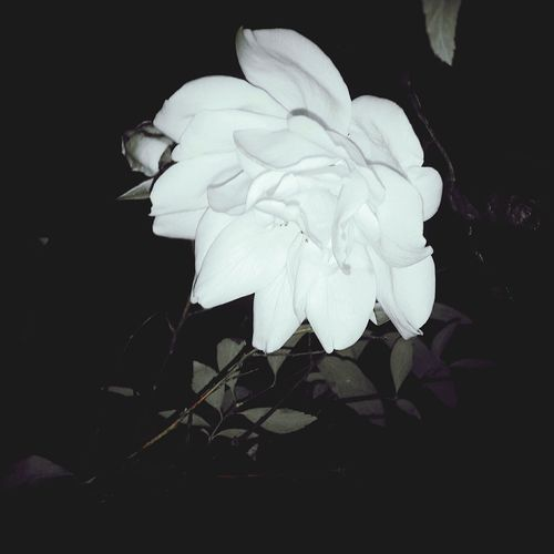 Roseporn Midnight In The Garden Of Good And Evil Rose🌹 I Never Promised You A Rose Garden Delicate Petals Withered