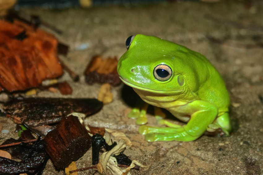 dicovery at night, he was so amazing Animal Animal Themes Animals In The Wild Australia Beauty In Nature Close Up Close-up Detail Eye4photography  EyeEm Best Shots EyeEm Nature Lover Focus On Foreground Frog Frogs Green Tree Frog No People One Animal Outdoor Photography Outdoor Pictures Outdoors Rainforest Rainforest Frog Travel Photography Wildlife Wildlife & Nature