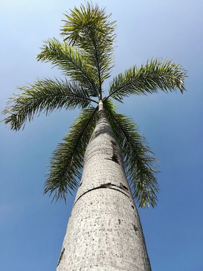 Day High Wind Resistance Tall Tree Happy Green Color Blackgroud Look From The Bottom. Tree Blue Blue Sky Light And Shadow Green