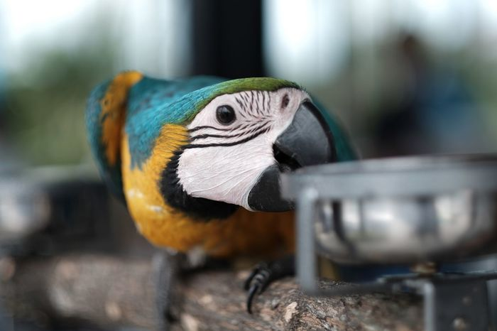 Parrot. EyeEmNewHere Avian Bird Eating Bird One Animal Parrot Animal Themes Close-up Gold And Blue Macaw Animals In The Wild Macaw Perching EyeEmNewHere EyeEmNewHere EyeEmNewHere