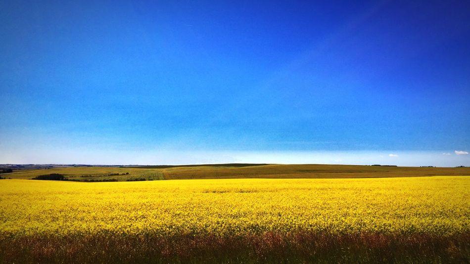 Field in Cochrane Cochrane Alberta Canola Field Field Sunny Sunny Day