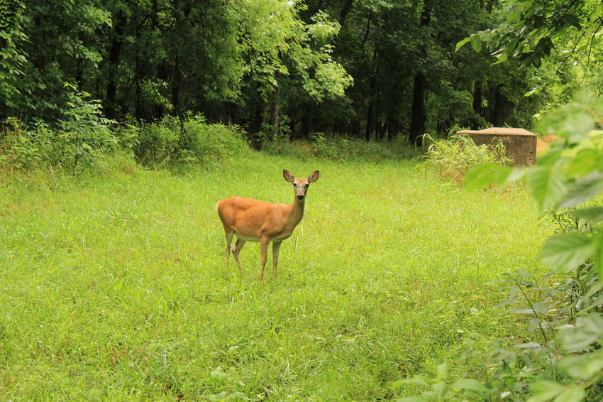 Animal Themes Animals In The Wild Beauty In Nature Day Deer Deer Field Forest Forest Path Full Length Grass Green Color Growth Mammal Nature No People One Animal Outdoors Purist No Edit No Filter Standing Tree Woods