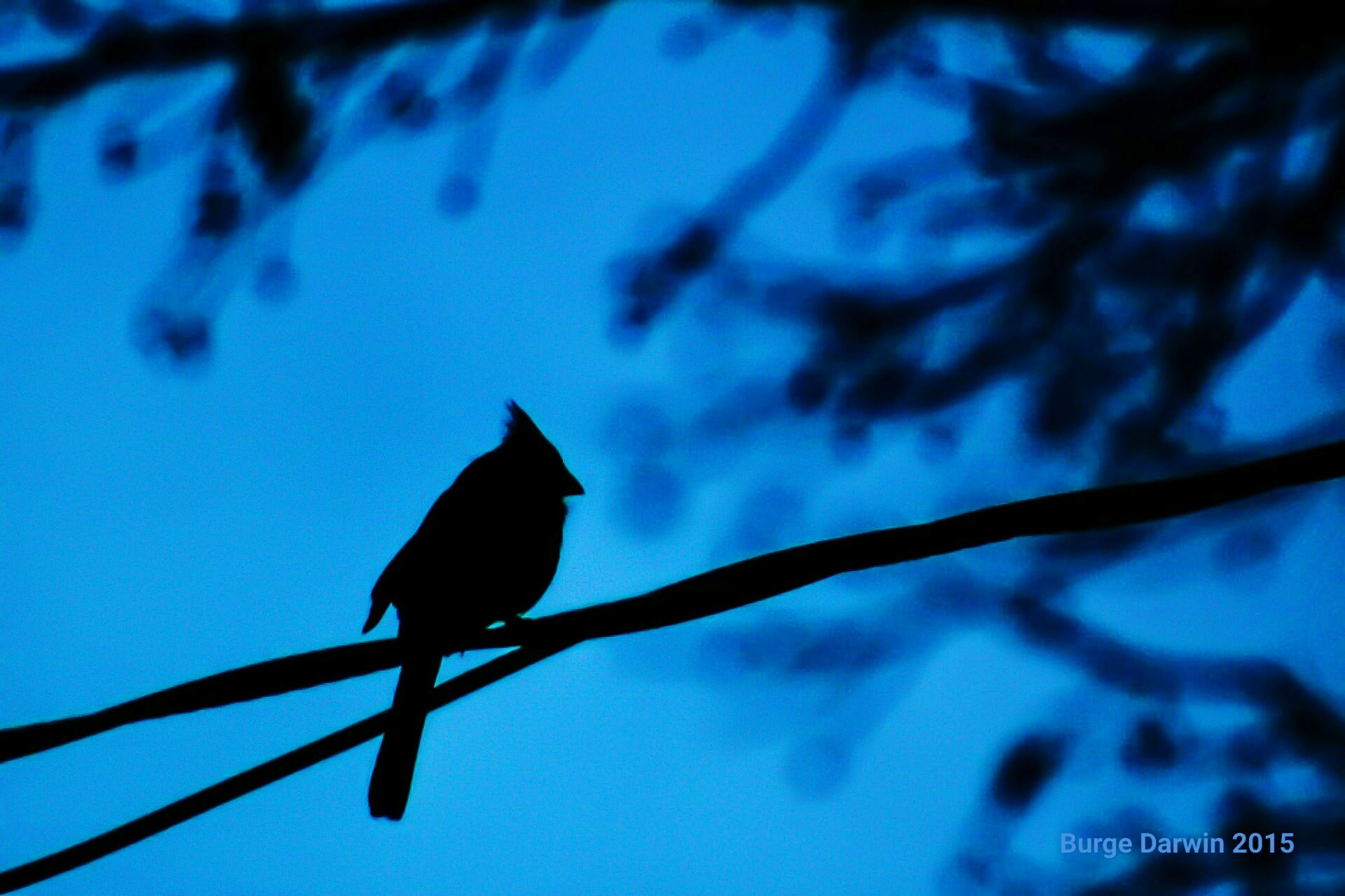 animal themes, animals in the wild, bird, wildlife, one animal, perching, low angle view, branch, full length, blue, nature, focus on foreground, clear sky, silhouette, tree, outdoors, zoology, day, no people, selective focus